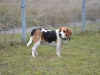 Benji, pies rasy Beagle do adopcji