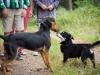 Bobiś zapoznaje się z innym psem Django.