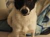 iggy-pies-do-adopcji-poznan-10