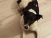iggy-pies-do-adopcji-poznan-11