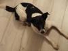 iggy-pies-do-adopcji-poznan-12