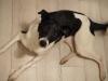iggy-pies-do-adopcji-poznan-7