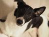 iggy-pies-do-adopcji-poznan-8