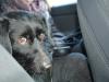 kruczi-maly-czarny-pies-adopcja-poznan-14