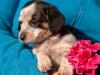 melba-pies-do-adopcji-poznan-dopiewo-2