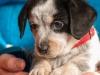 melba-pies-do-adopcji-poznan-dopiewo-3