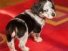 melba-pies-do-adopcji-poznan-dopiewo-4