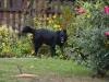 negro-czarny-pies-2
