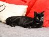Nutkka, piękna czarna kotka do adopcji.