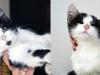 Pętelka i Guzik koty do adopcji Poznań