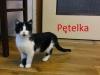 Pętelka przepiękna czarno-biała kotka do adopcji
