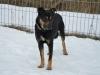 Ringo pies do adopcji Poznań