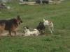 18.08.2014 r. Urocza, mała suczka wśród innych psów.