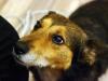 Timmy, mały pies czeka na stały dom.