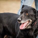 Homer czarny pies do adopcji Poznań, Dopiewo