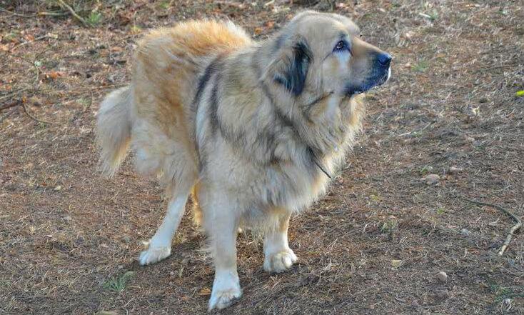 Mozart duży pies na spacerze