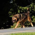 Hektorr duży pies do adopcji Poznań
