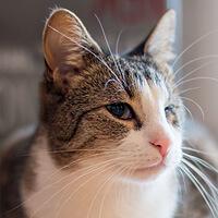 Mambo, kot do adopcji, Poznań, Dopiewo