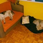 Lassie w stałym domu