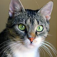 Tytus kot do adopcji