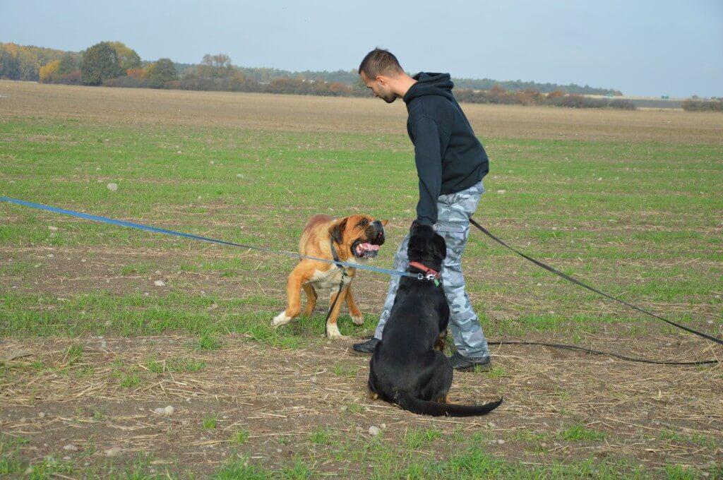 Teksas duży pies do adopcji Poznań