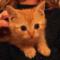 PRECEL rudy kot do adopcji