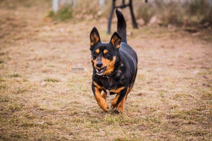 Maniek mały pies do adopcji Poznań