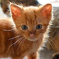 Franek, rudy kot do adopcji, Poznań