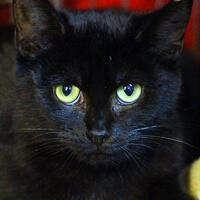 Manila czarna kotka do adopcji Poznań