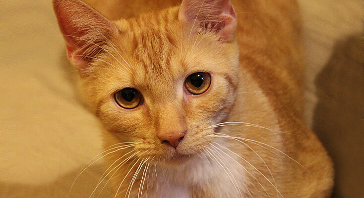 Ruudzik rudy kot w stałym domu