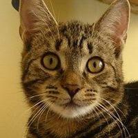 TYGRYS kot do adopcji Poznań