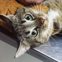 Wisienka kotka do adopcji Poznań