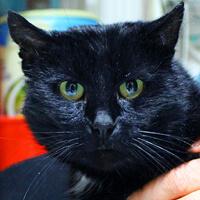 Bogdan niepełnosprawny, czarny kot do adopcji Poznań