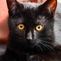 Jukon czarny kot do adopcji Poznań