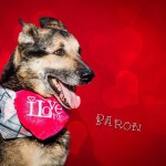 14-02-2016 - Walentynki pies Baron