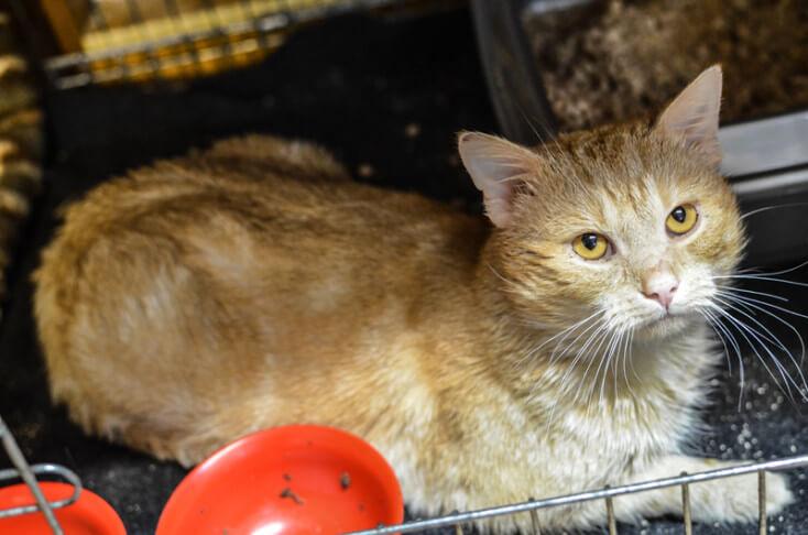 Nugat, rudy kot do adopcji Poznań