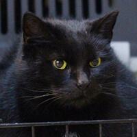 Pysia, starsza kotka do adopcji Poznań