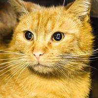 Carlos, rudy kot do adopcji