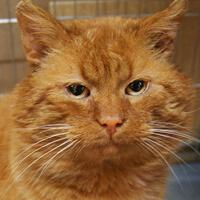 Erni, rudy kot do adopcji Poznań
