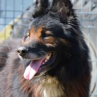 Komo, pies do adopcji Poznań, Dopiewo, owczarek