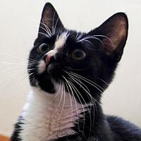 Pchła, kotka do adopcji, Poznań