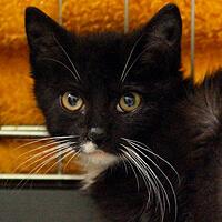 Marcepanka, kotka do adopcji