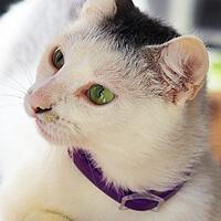 Śnieżka, kotka do adopcji