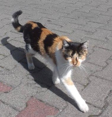 Wychudzona kotka trikolorka na ulicy Starołęckiej