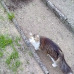 Zaginął kot Norweski leśny, nagroda 5000 zł