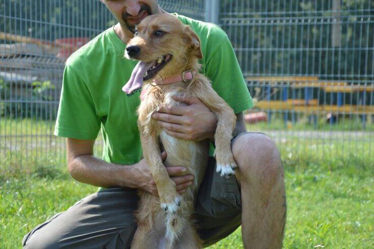 Roni to młodziutki, niespełna roczny pies w typie terierka
