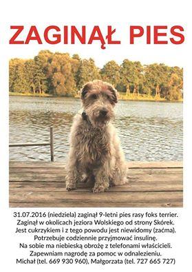 Zaginął niewidomy pies! Powiat żniński, jezioro Wolskie!