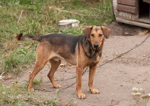 Rudy skomli o zmiłowanie... pies do adopcji Poznań