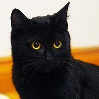 Fibi, czarna kotka do adopcji, Poznań, Dopiewo