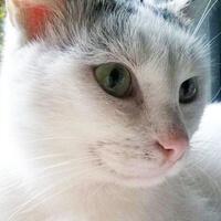 Łasek, kot do adopcji, Poznań, Dopiewo